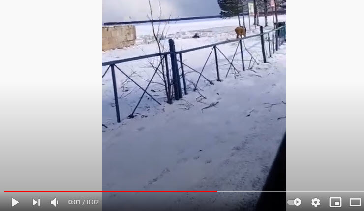 В Сестрорецке был замечен кабан